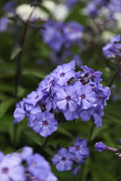 buy border phlox phlox paniculata 39 blue paradise 39 delivery by crocus. Black Bedroom Furniture Sets. Home Design Ideas