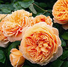 rose Crown Princess Margareta  (shrub)