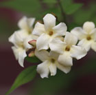 Jasminum officinale Clotted Cream ('Devon Cream') (PBR)