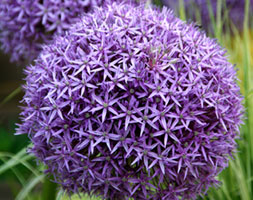 Click to view product details and reviews for Allium Aposglobemasterapos Ornamental Onion.