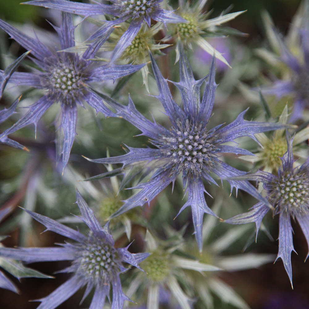 Buy Sea Holly Eryngium Bourgatii Picos Amethyst