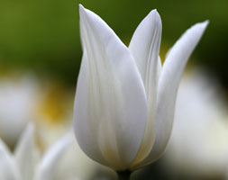 Click to view product details and reviews for Tulipa Aposwhite Triumphatorapos Lily Flowered Tulip Bulbs.