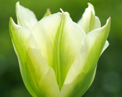 Click to view product details and reviews for Tulipa Aposspring Greenapos Viridiflora Tulip Bulbs.