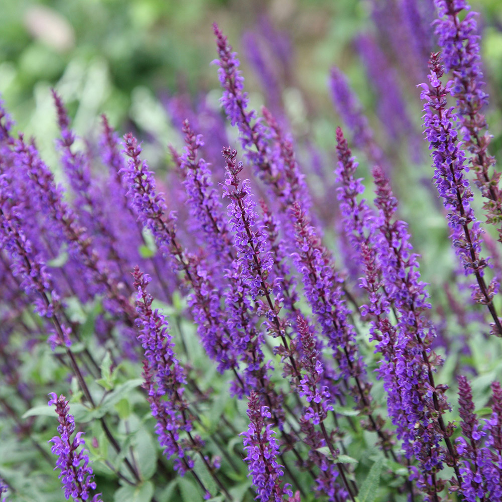 buy balkan clary salvia nemorosa 39 caradonna 39 delivery by crocus