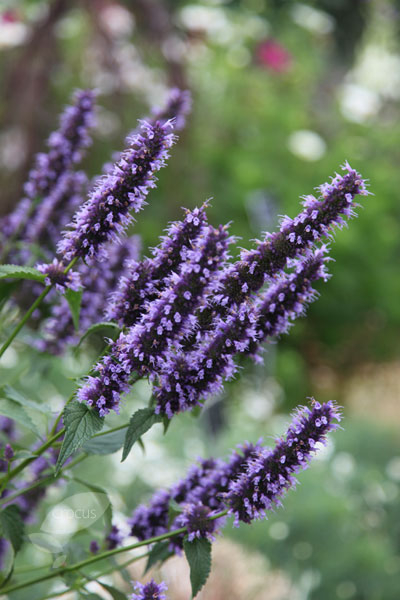 Buy Hyssop Agastache Blackadder Delivery By Crocus