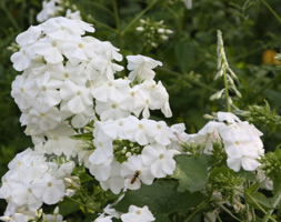 Phlox Paniculata 'David' (Border Phlox)