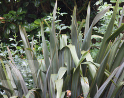 Click to view product details and reviews for Phormium Tenax New Zealand Flax.