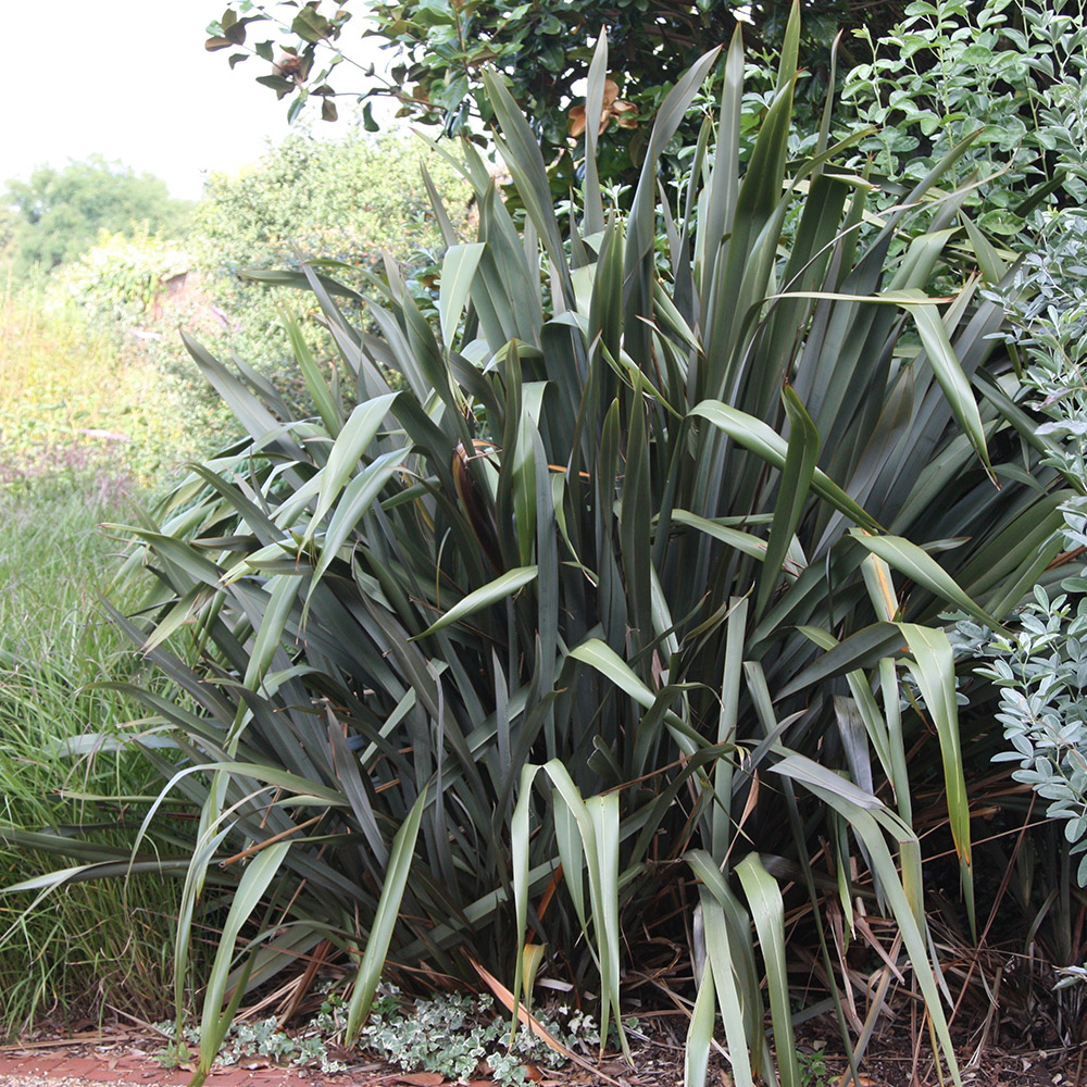 Buy new zealand flax phormium tenax delivery by waitrose for Childrens gardening tools new zealand