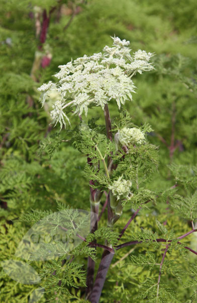 milk parsley