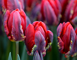 Click to view product details and reviews for Tulipa Aposrococoapos Parrot Tulip Bulbs.
