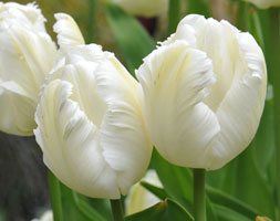 Click to view product details and reviews for Tulipa Aposwhite Parrotapos Parrot Tulip Bulbs.