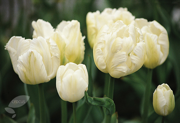 parrot tulip bulbs