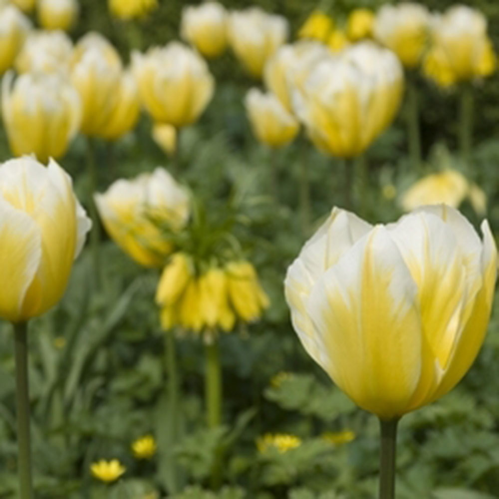 Buy fosteriana tulip bulbs tulipa 39 sweetheart 39 delivery for Tulipe bulbe
