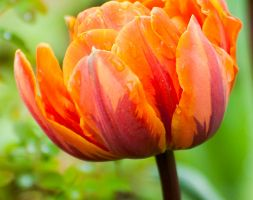 Tulipa andapos;Orange Princessandapos; (double late tulip bulbs)