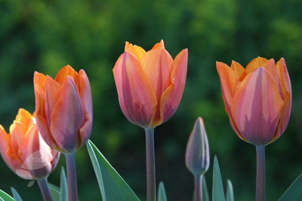 double late tulip bulbs