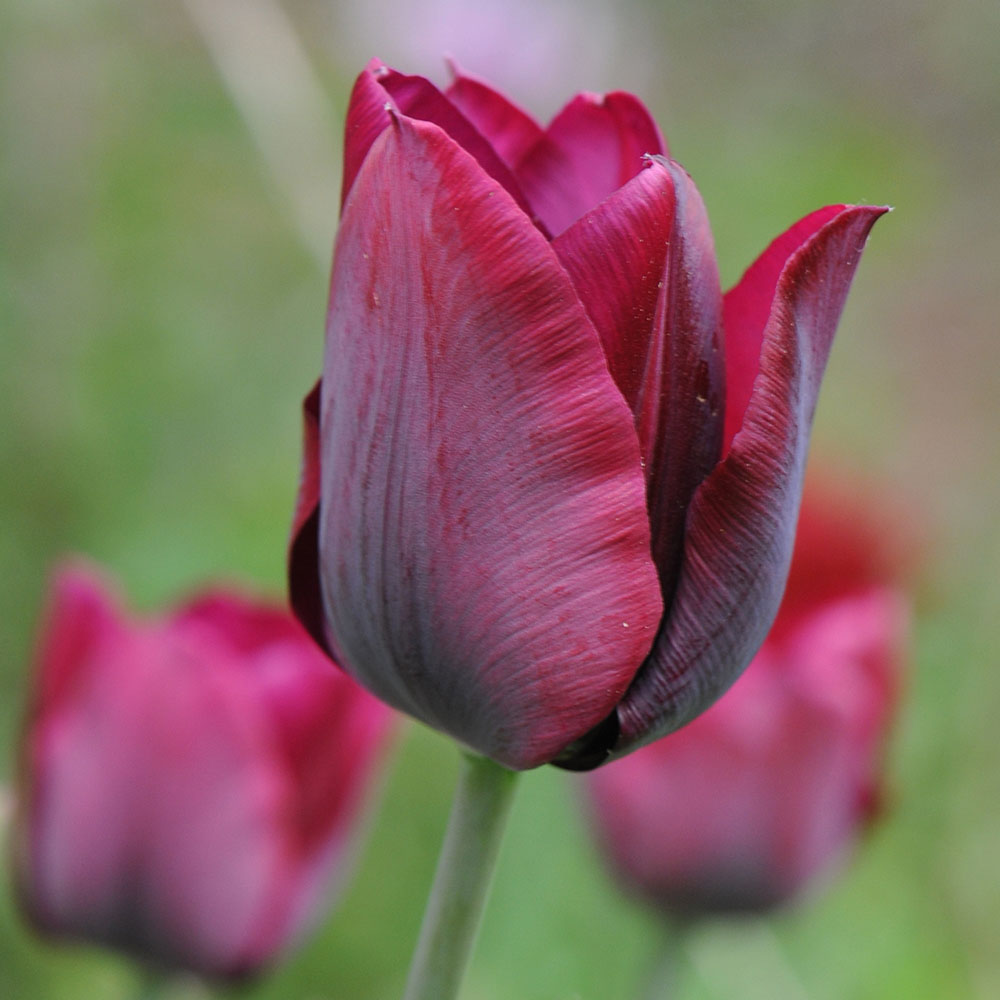Buy Triumph Tulip Bulbs Tulipa Ronaldo Delivery By Crocus