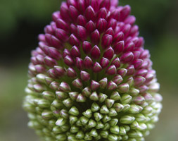 Click to view product details and reviews for Allium Sphaerocephalon Round Headed Leek Bulbs.