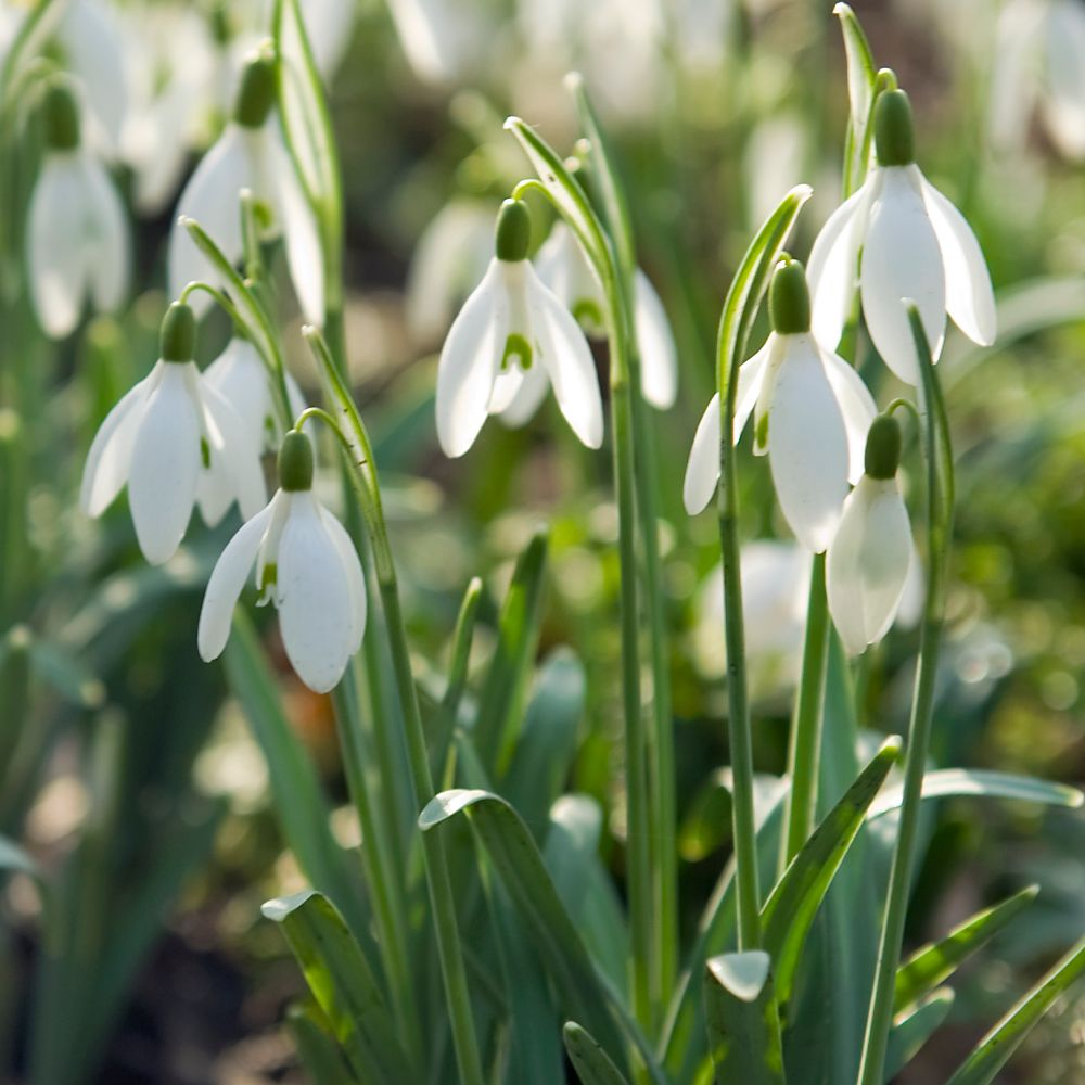 common snowdrop bulbs