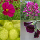 Cut Flower Seed Combination