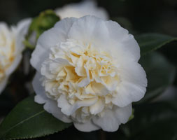 Camellia × williamsii 'Jury's Yellow'