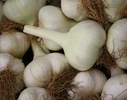 Garlic Aposelephant Garlicapos Elephant Garlic Cloves