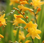 Crocosmia × crocosmiiflora Honey Angels
