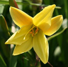 Hemerocallis Lemon Bells