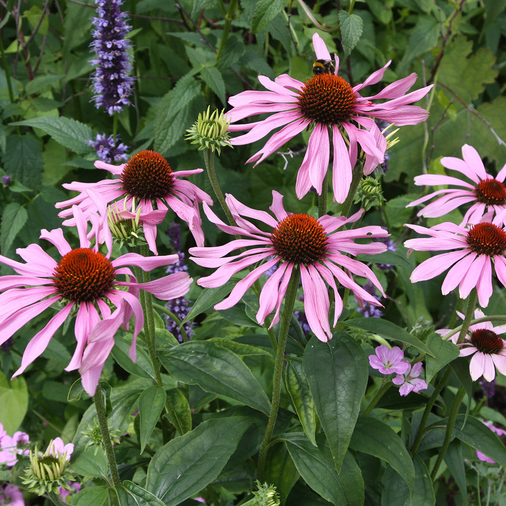 buy coneflower echinacea purpurea 39 rubinstern 39 delivery by crocus. Black Bedroom Furniture Sets. Home Design Ideas