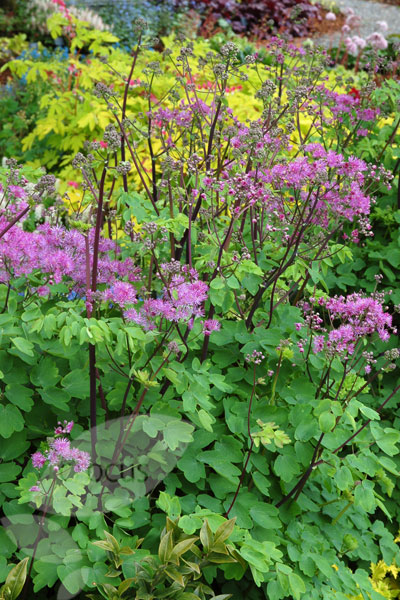 Buy Meadow Rue Thalictrum Black Stockings Delivery By