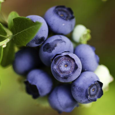 blueberry Ozarkblue - late fruiting