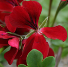 Pelargonium April Hamilton