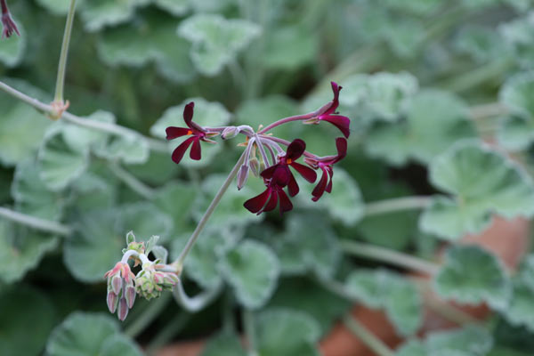 species pelargoniums