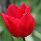 Tulipa Red Rover