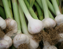 Click to view product details and reviews for Garlic Apossolent Wightapos Garlic Softneck Bulb.
