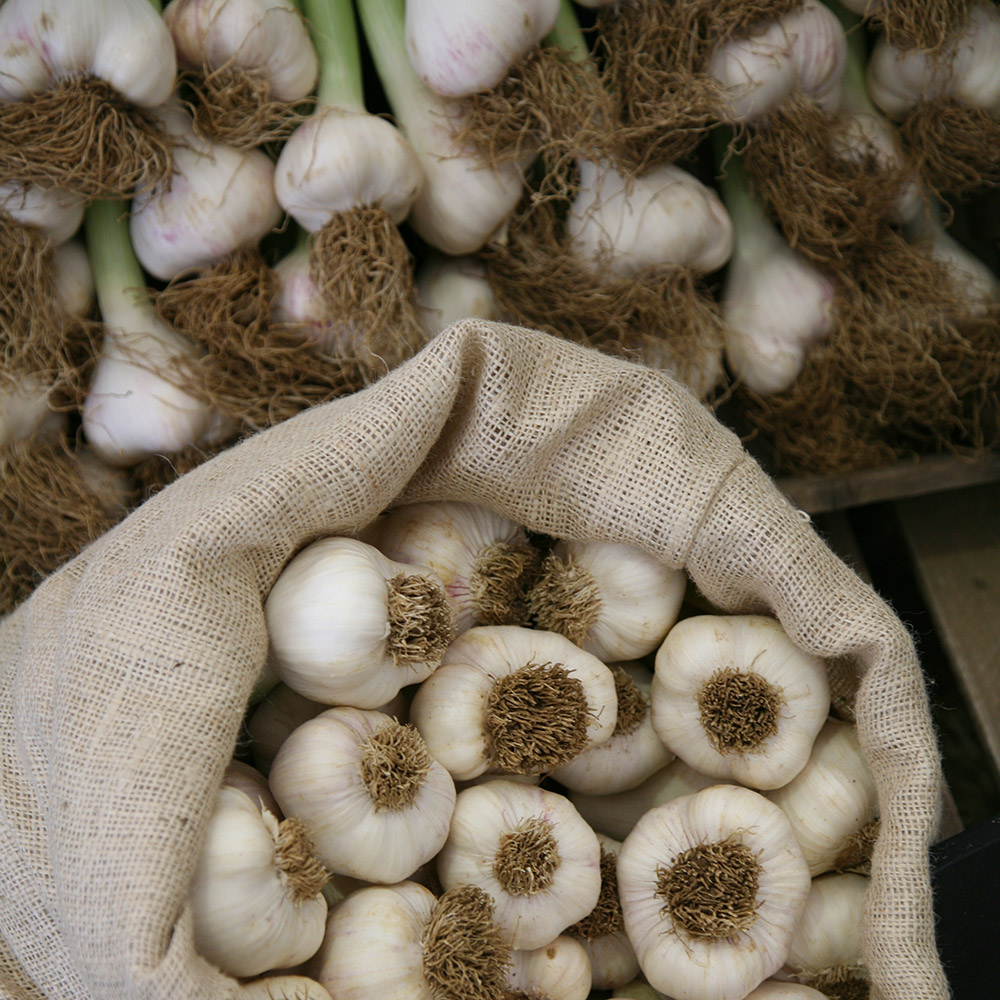 garlic (softneck) bulb