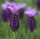 Lavandula Rocky Road ('Fair 09') (PBR)