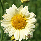 Anthemis tinctoria Sauce Hollandaise