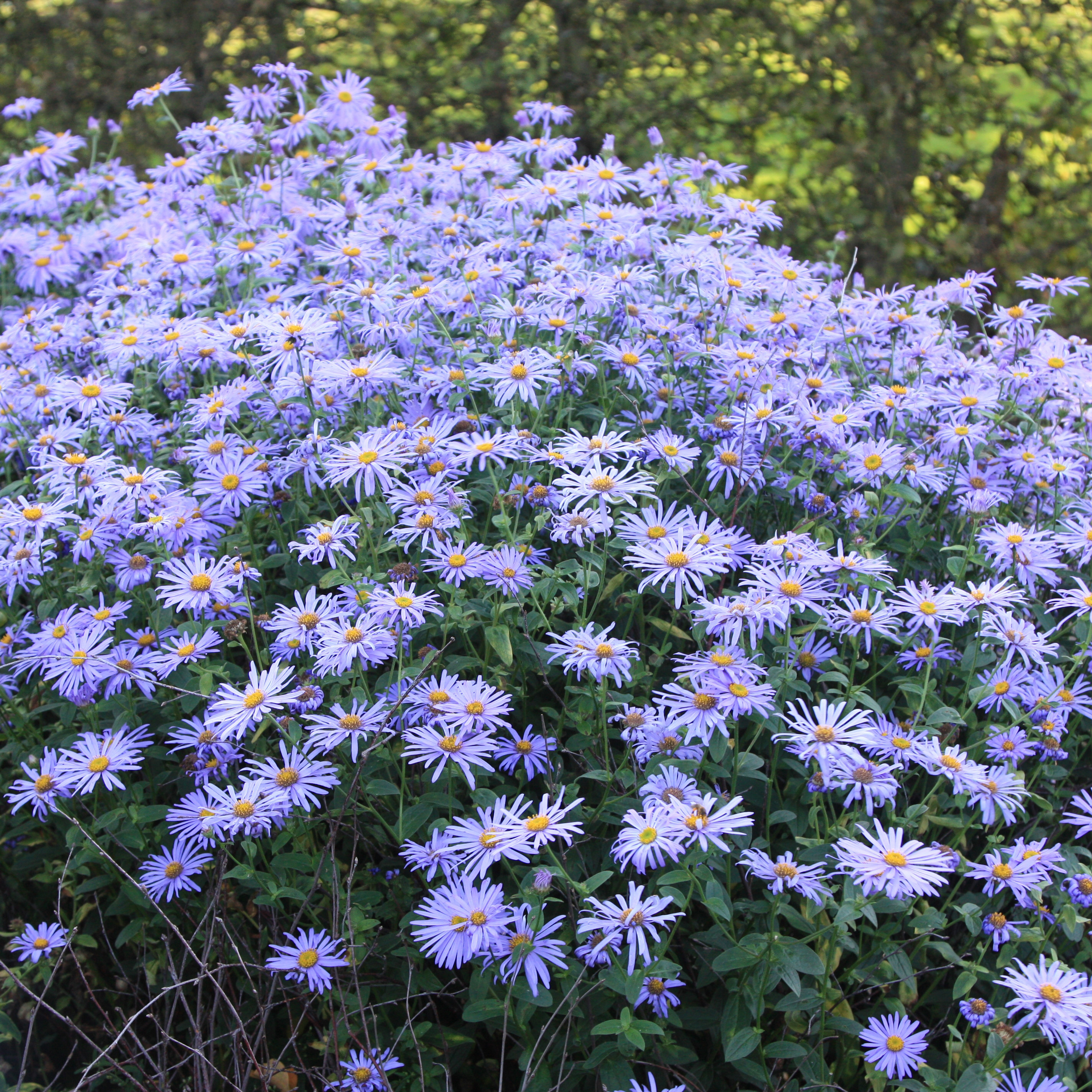 buy aster aster × frikartii 'monch' delivery by crocus, Beautiful flower