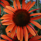 Echinacea Sundown (PBR) (Big Sky Series)