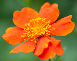 Click to view product details and reviews for Geum Aposborisiiapos Avens.