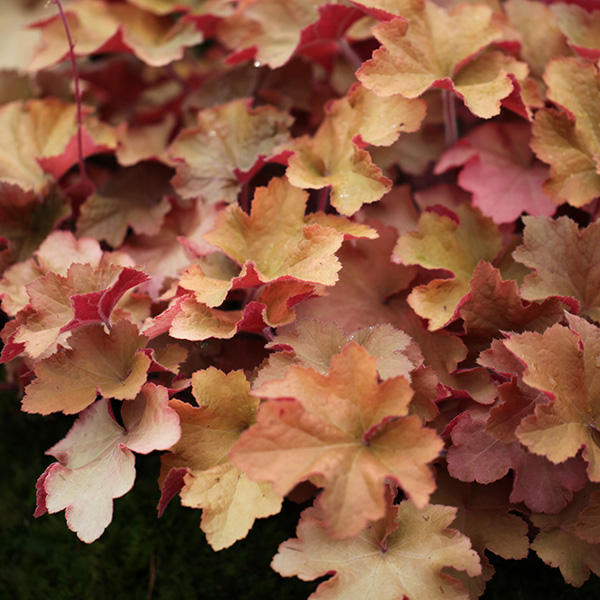 Buy coral bells Heuchera 'Caramel (PBR)': Delivery by Crocus