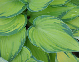 Hosta (Tardiana Group) 'June' (PBR)