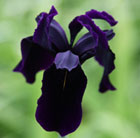 Iris chrysographes black-flowered