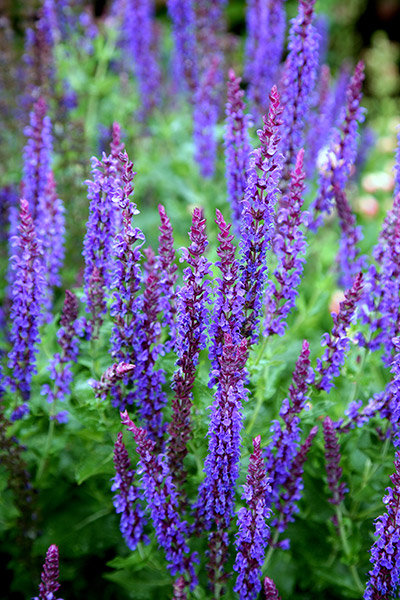 sage  (syn. Salvia May Night)