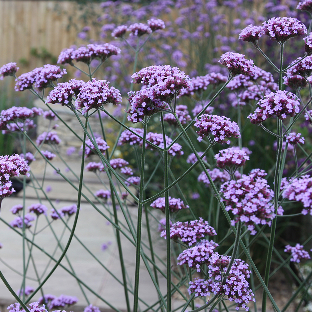 Buy verbena verbena bonariensis delivery by crocus for Verbena pianta