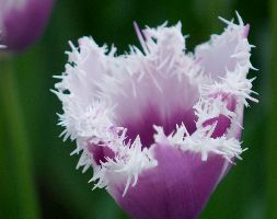 Tulipa Aposcumminsapos Fringed Tulip Bulbs