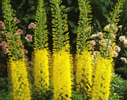 Click to view product details and reviews for Eremurus Stenophyllus Foxtail Lily Bulbs.