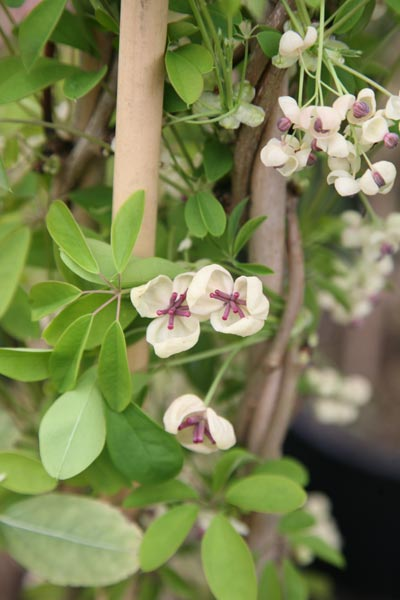 Buy chocolate vine akebia quinata cream flowered click to enlarge chocolate vine mightylinksfo