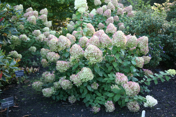 buy hydrangea hydrangea paniculata 39 limelight pbr 39 delivery by crocus. Black Bedroom Furniture Sets. Home Design Ideas