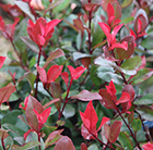 Photinia × fraseri Little Red Robin